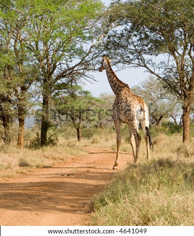 Giraffe stepping out onto the road - stock photo