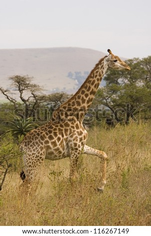 Giraffe steps through the high grass, South Africa