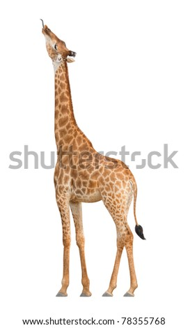 Giraffe stuck out his tongue to get food - stock photo