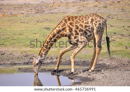 Giraffe taking a quick drink of water. Chobe National Park safari.