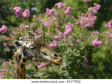 Giraffe thinking on pink flowers background