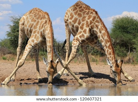 Giraffe - Time to drink - African Antelope - stock photo