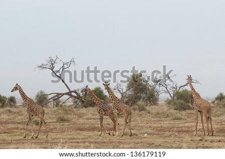 Giraffe Tsavo West National Park Kenya - stock photo