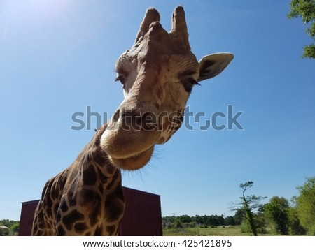giraffe up close  - stock photo
