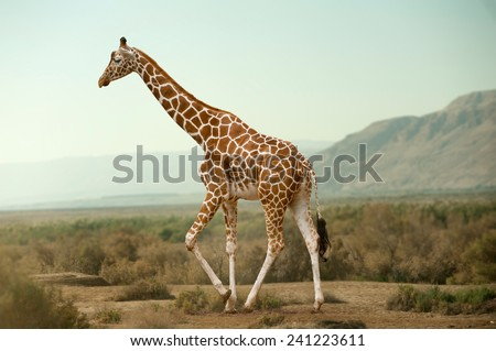Giraffe walking in desert - stock photo