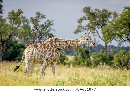 Giraffe walking in the grass with Oxpeckers in the Okavango Delta, Botswana.