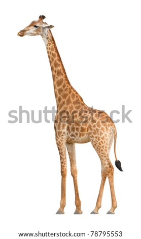 Giraffe walking on a white background - stock photo