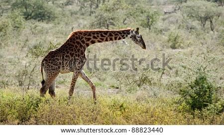 Giraffe walking on savannah. Uganda - stock photo