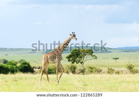 Giraffe walking through the grasslands (lake Nakuru; Kenya) - stock photo