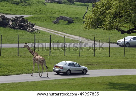 giraffe walking through the park - stock photo