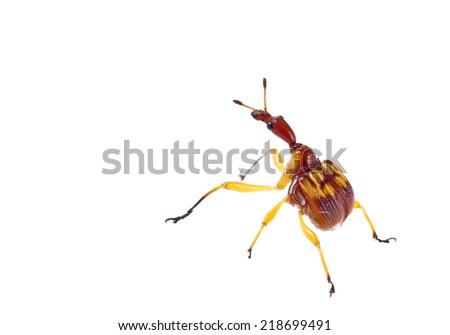Giraffe Weevil - stock photo