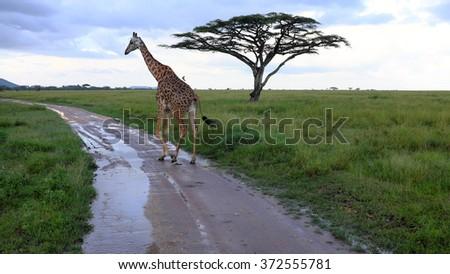 Giraffe while safari in the Serengeti national park, Tanzania, Africa. Flat trees, road and green grass. - stock photo