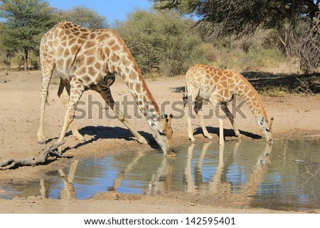 Giraffe - Wildlife from Africa - Animal Babies - A cow and calf drink water on a game ranch in Namibia. - stock photo