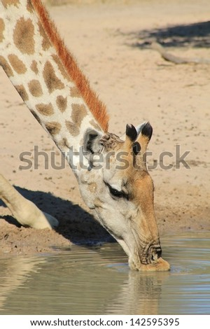 Giraffe - Wildlife from Africa - Long neck and soft lips.  An adult cow leans in for a drink of water.  Photographed on a game ranch in Namibia. - stock photo