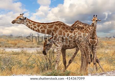 giraffe with calf grazzing on tree in Ombika, Kunene, Namibia, wildlife photography - stock photo