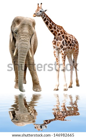 giraffe with elephant isolated on white  - stock photo