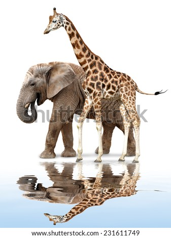 giraffe with elephant reflected on the water surface - stock photo