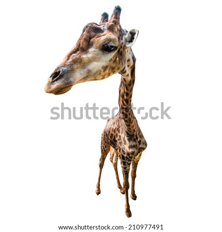Giraffe with Fisheye angle lens isolated on white background - stock photo