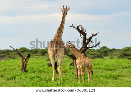 giraffe with its young one,Etosha