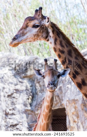 giraffe with kid in public zoo - stock photo