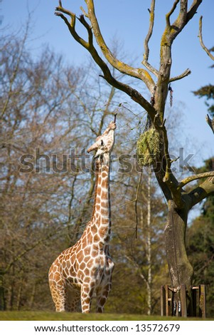 Giraffe with long tongue eating from tree - stock photo