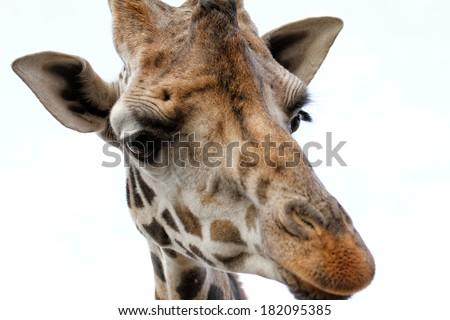 Giraffe with sad face - close up photo - stock photo