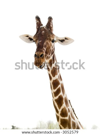 giraffe with sticking out tongue on white - stock photo