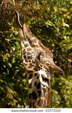 Giraffe with tongue extended eating from a eucalyptus tree.