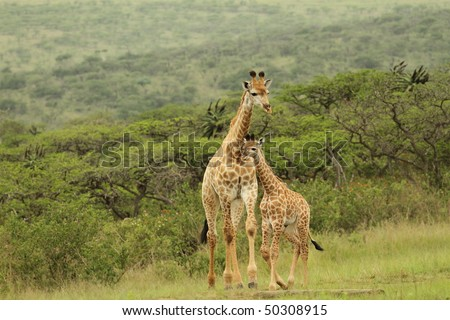Giraffe young close to mother - stock photo