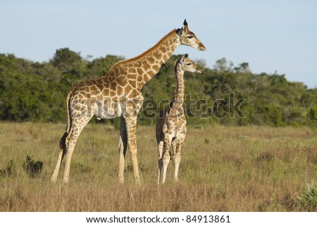 Giraffe youngsters - stock photo