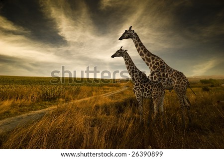 Giraffes and The Landscape - stock photo