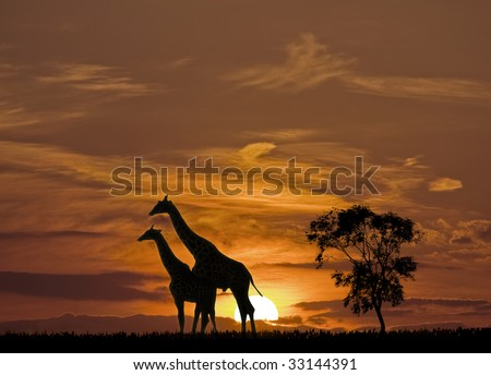 Giraffes and the sunset in Africa - stock photo