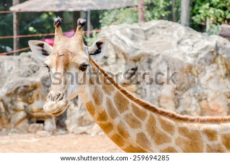 Giraffes are some vacant - stock photo
