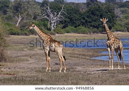 Giraffes at Chobe-River, Botsuana - stock photo