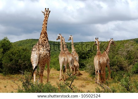 giraffes at hasty escape - stock photo