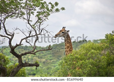 Giraffes at Hluhluwe-Umfolozi Game Reserve, located 280 km north of Durban, is the oldest proclaimed park in Africa. In central Zululand, KwaZulu-Natal, South Africa and is known for its rich wildlife - stock photo