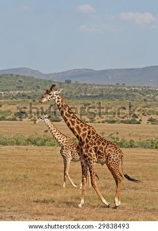 Giraffes at Masai Mara, Kenya - stock photo