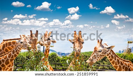 Giraffes at Taronga Zoo, Sydney looks towards the harbour bridge. Australia. - stock photo