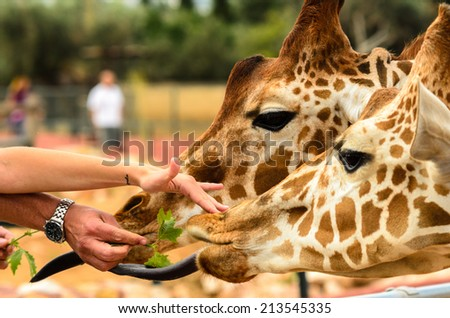 Giraffes Being Feed by a man's and a woman's hands - stock photo