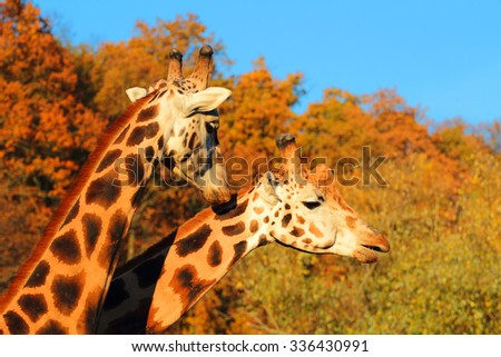 Giraffes couple falling in love. - stock photo