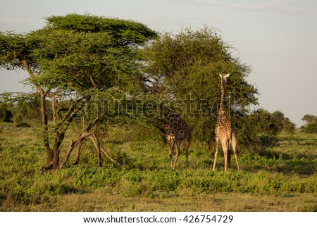 Giraffes eating from trees in the african savanna - stock photo