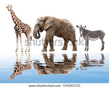 giraffes, elephant and zebras isolated on white - stock photo