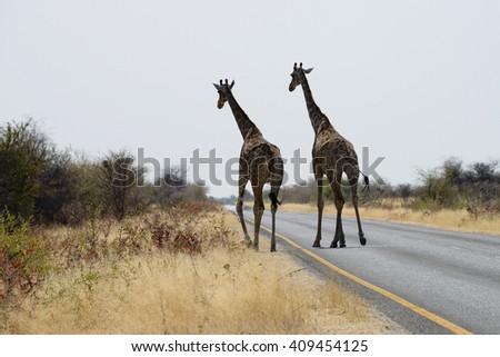 Giraffes, Etosha National Park, Namibia - stock photo
