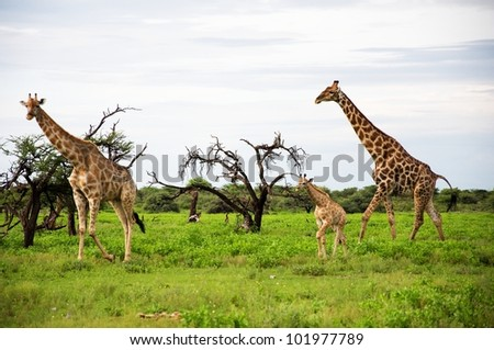 Giraffes family in Etosha Park, Namibia - stock photo