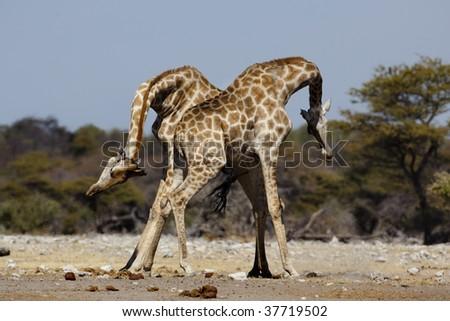 Giraffes Fighting Gif giraffes fighting