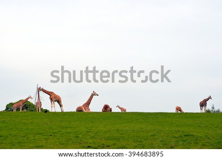 giraffes gathering in the grass on fota wildlife park in county cork ireland with copy space - stock photo