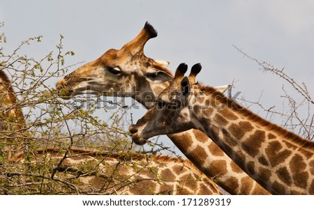 Giraffes (Giraffa camelopardalis) in Kruger National Park, South Africa