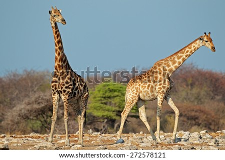 Giraffes (Giraffa camelopardalis) in natural habitat, Etosha National Park, Namibia - stock photo