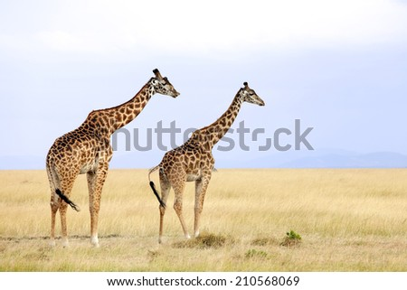 Giraffes (Giraffa camelopardalis) on the Maasai Mara National Reserve safari in southwestern Kenya.