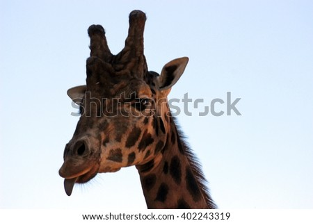giraffes head